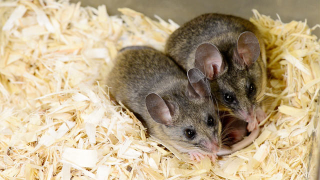 PHOTO: California mice