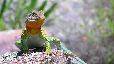 PHOTO:??A male collared lizard in Missouris Ozark Mountains.