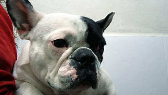 "PHOTO: According to a news release from the CEU-Cardenal Herrera University in Valencia, specialists learned that a ""female"" French Bulldog, Tana, acually had the internal organs of a male."