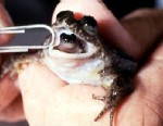 PHOTO: Birth of the Gastric Brooding Frog. This species of grog swallows its eggs, incubates its young in its stomach, and gives birth to baby frogs through its mouth.