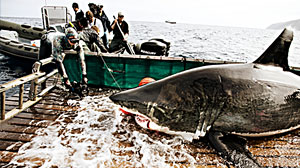 Photo: Expedition Great White: Tracking the World?s Largest Predatory Fish: Scientists, sports fisherman join to catch ? and release ? a great white shark.