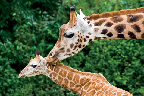 ht mothers love giraffe newborn ll 120509 wblog A Mothers Love