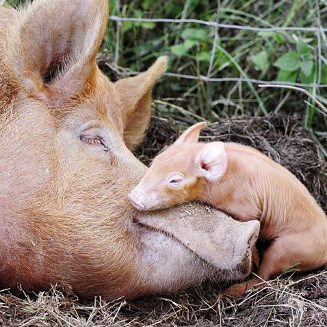 ht mothers love pig piglet ll 120509 wblog A Mothers Love
