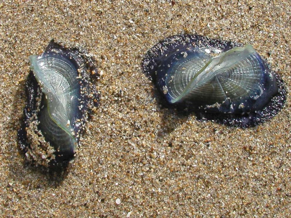 PHOTO: Two by-the-wind-sailors on Pescadora State Beach, Calif. on April, 17 2003.