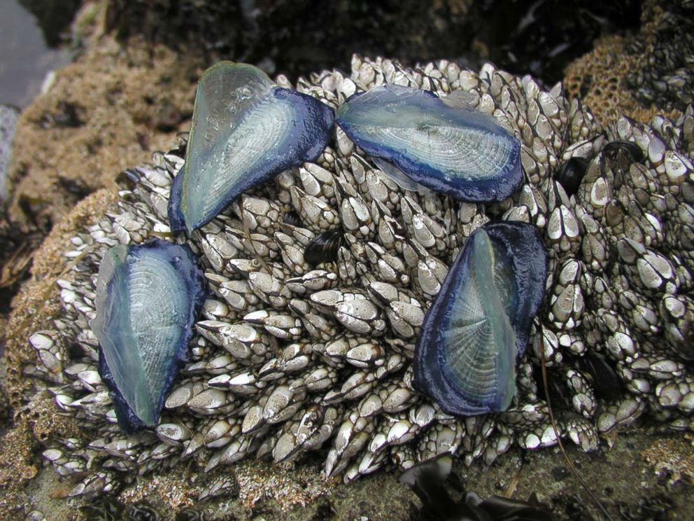 PHOTO: A few Velella velella, also known as by-the-wind-sailors, were seen on Pescadero State Beach, Calif. on May, 14 2003.
