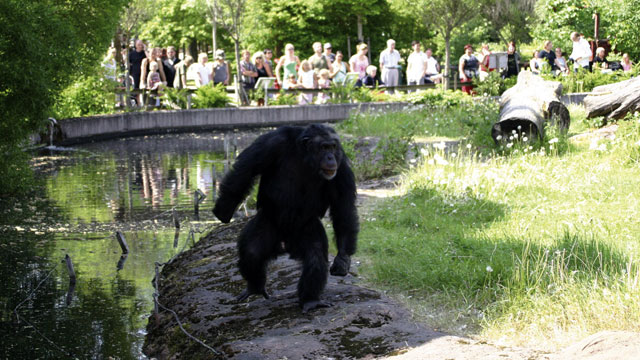 PHOTO: Santino, the male chimpanzee, displays a stone in his left hand.