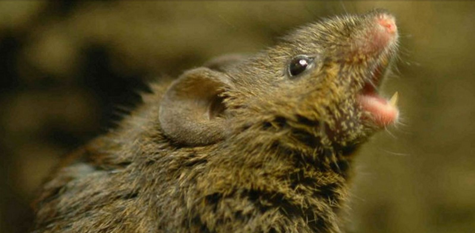 PHOTO: U of Texas scientists find that mice in Costa Rica and Panama sing to attract mates, and even guard their territory.