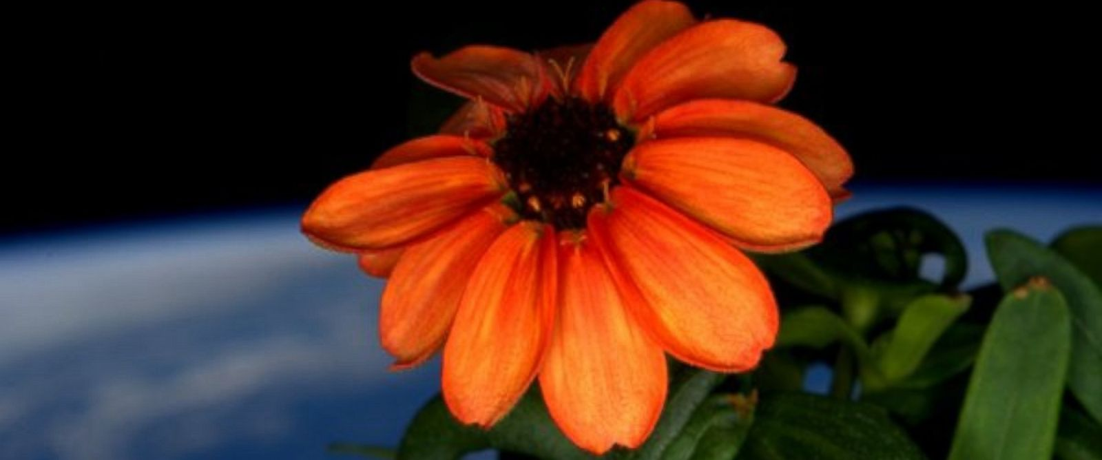 PHOTO: NASA astronaut Scott Kelly shared this photo of a flower grown in space on Jan. 17, 2016.