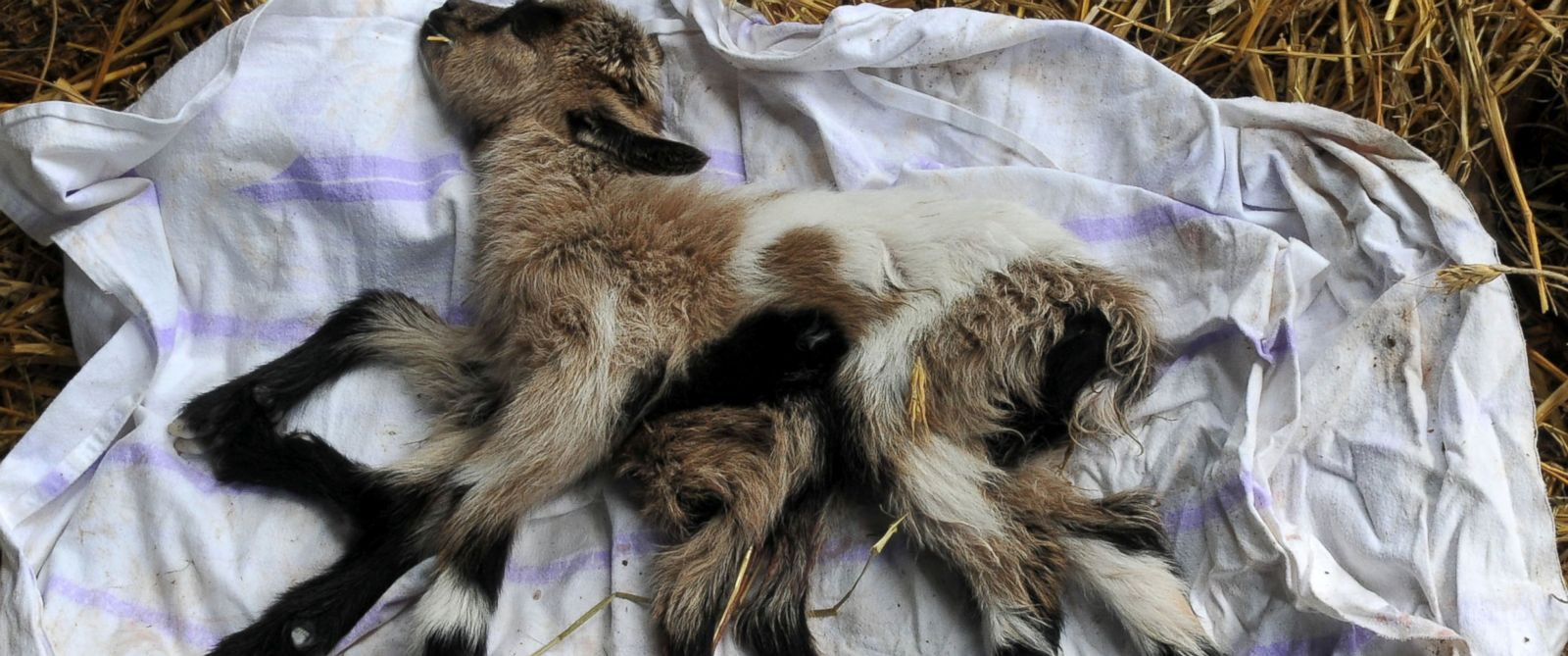 PHOTO: A goat with eight legs has been born on a farm in Kutjevo, Croatia.