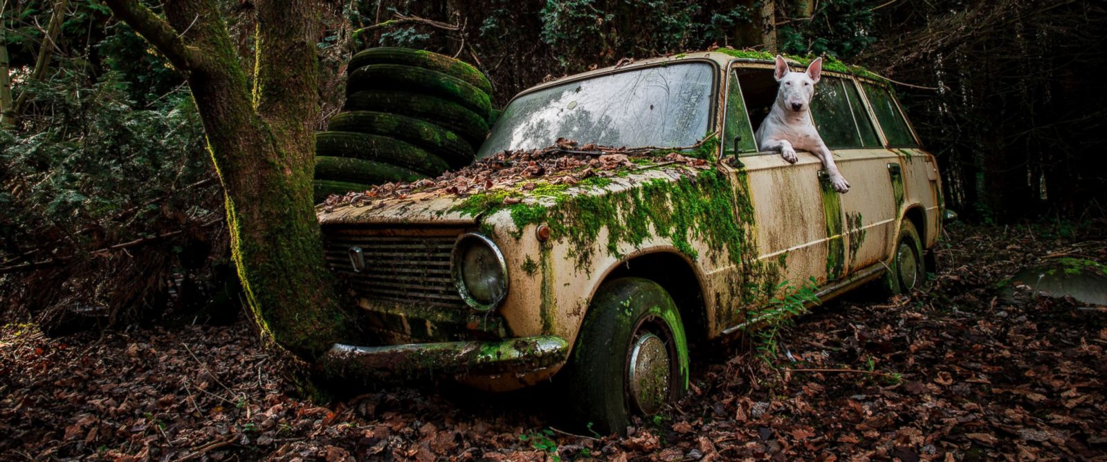 PHOTO: Bull terrier Claire is pictured driving an abandoned car in Belgium.