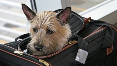 PHOTO: A terrier peeks out of his fit-under-the-seat airline tote. The electrical tape on the strap remains in the shot as a badge of protest from the previous trip.