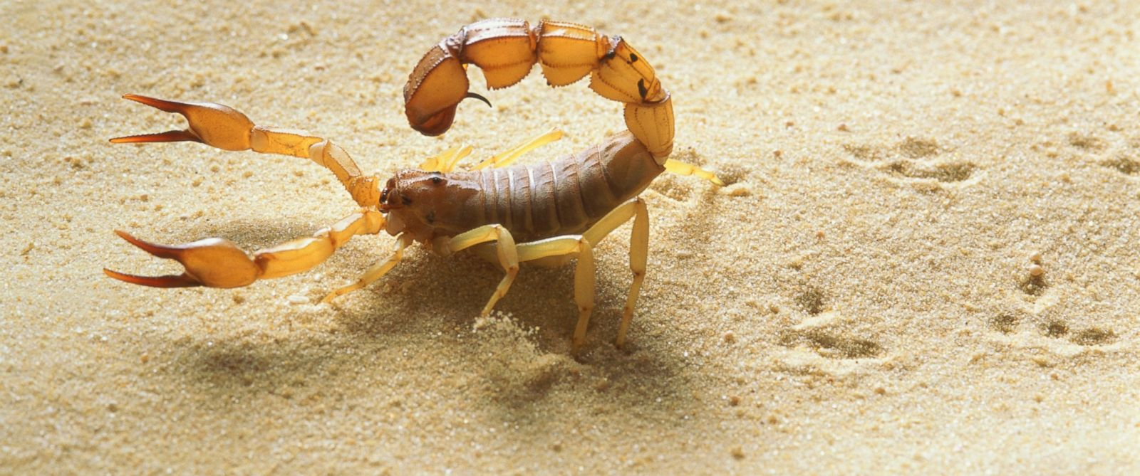 PHOTO: A yellow fat tail scorpion is seen close-up in this stock image.