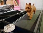 PHOTO: Australian Terrier