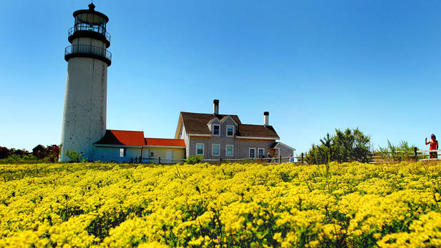 PHOTO: A field of brilliant yellow sedum form a carpet in front of the Highland Light Lighthouse on the Cape Cod National Seashore.