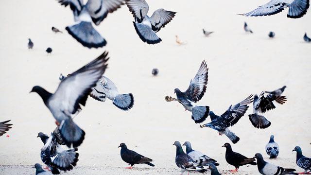 PHOTO: Pigeons.