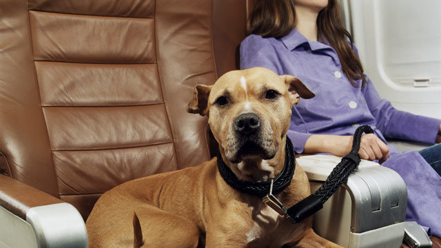PHOTO: Several airlines require that animals traveling in a plane?s cabin be ?odorless.?