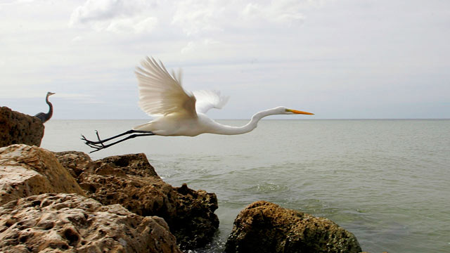 PHOTO: A bird flies off a rock, on Sanibel Island, Fla.