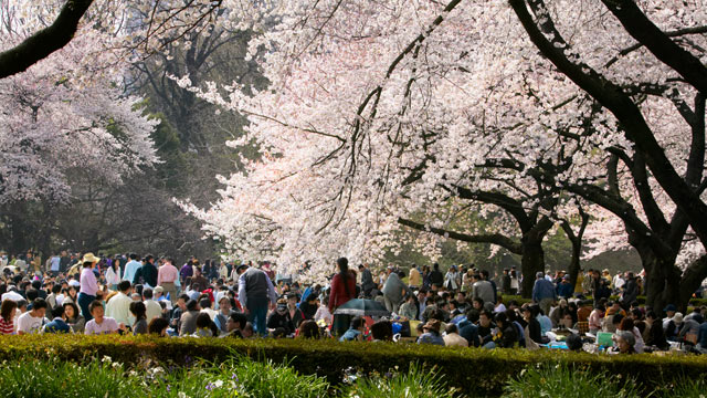PHOTO: In this file photo the Hanami celebrations can be seen at Shinjuku Gyoen National Garden, Tokyo, Japan.