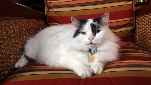 PHOTO: Brook is another feline who resides a the Alderbrook Resort & Spa in the Hood Canal.