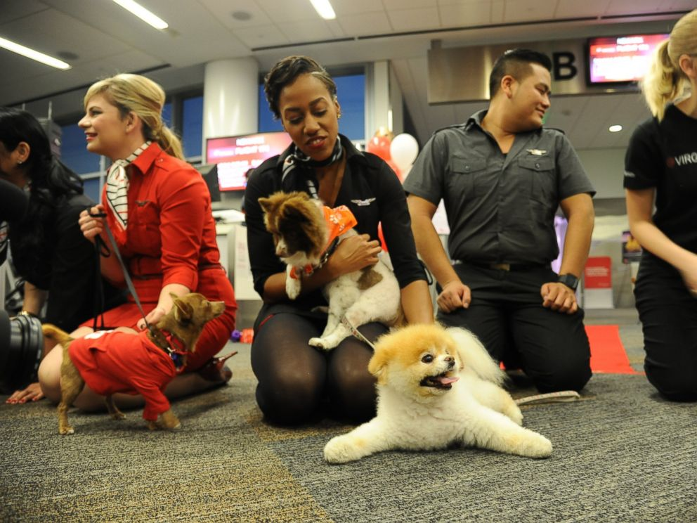 PHOTO: Virgin America in-flight teammates play with the airlines Official Pet Liaison Boo and Chihuahua pups being flown to New York on board the airlines fifth Operation Chihuahua airlift on November 13, 2013.