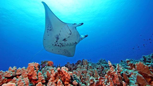 PHOTO: Manta Ray Dives with Kona Honu, Hawaii