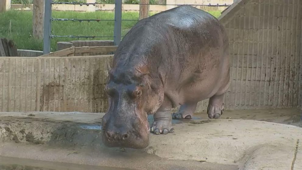 VIDEO: North Americas Oldest Hippo Celebrates His 58th Birthday