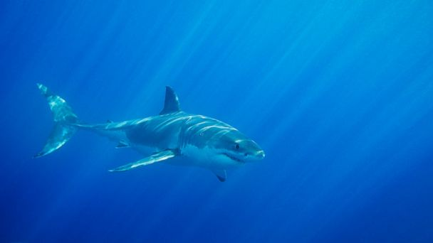 PHOTO: A Great White Shark is seen in this undated file photo.