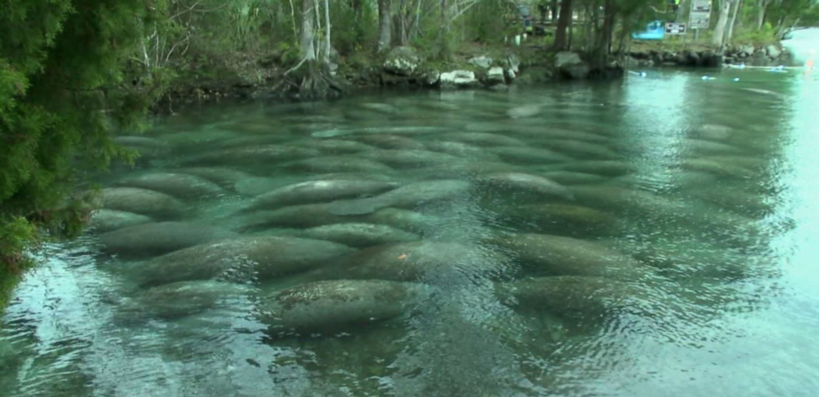 VIDEO: Wildlife officials say it's the largest consistent gathering of manatees at the Florida location in recent history.