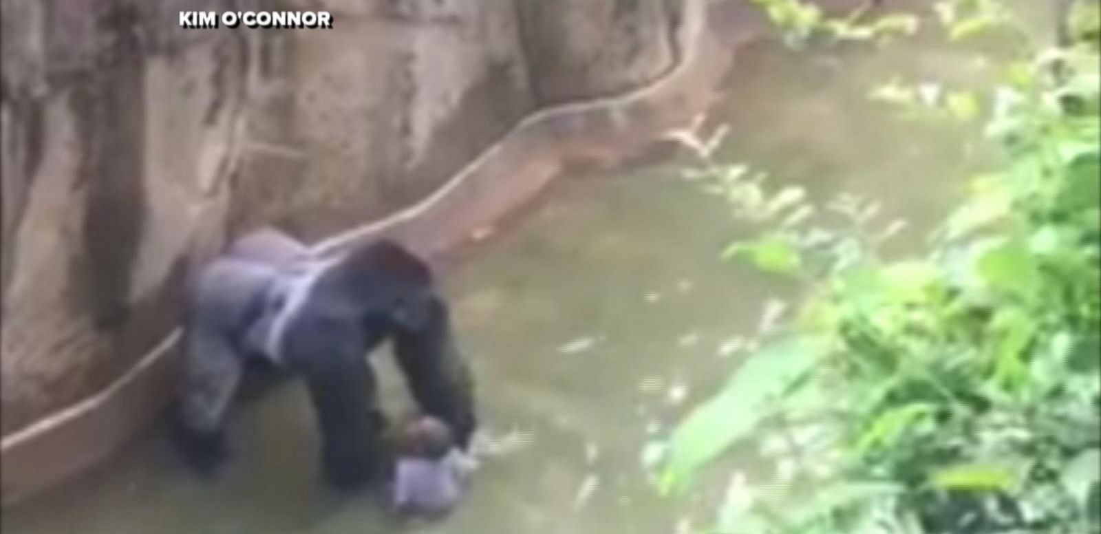 VIDEO: Gorilla Shot in Cincinnati Zoo After Boy Falls into Habitat