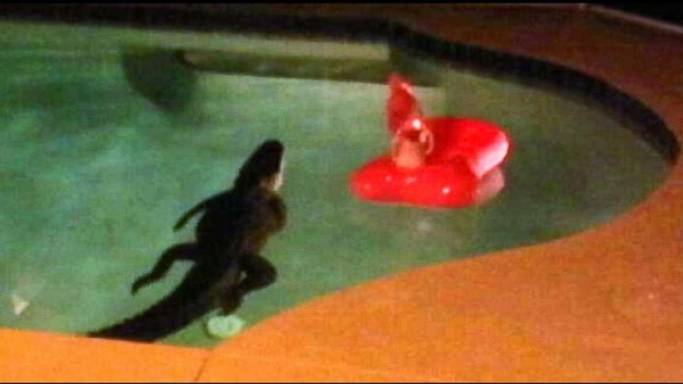 Florida Couple Finds Alligator Taking A Dip In Backyard Pool Abc News