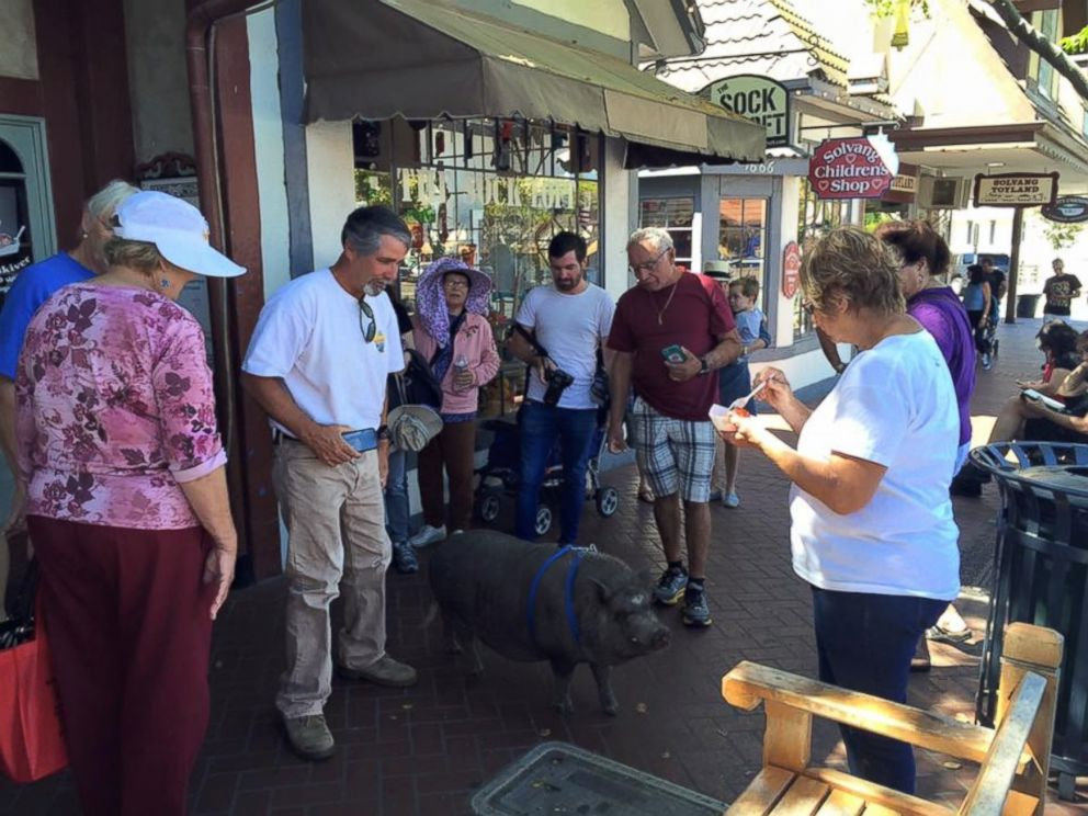 PHOTO: Susan Parkinson with her pig Hamlet talking to people about the work she is doing to rescue abandoned pigs in Solvang, California.