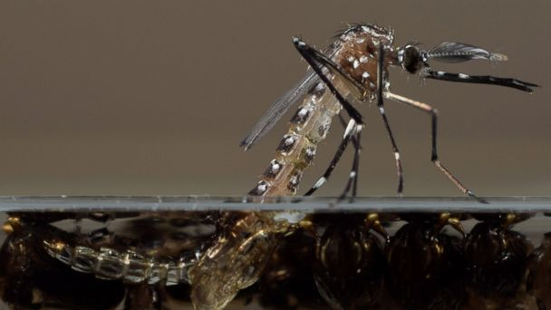 http://a.abcnews.go.com/images/US/AP_genetically_modified_mosquito_2_jt_150125_16x9_608.jpg