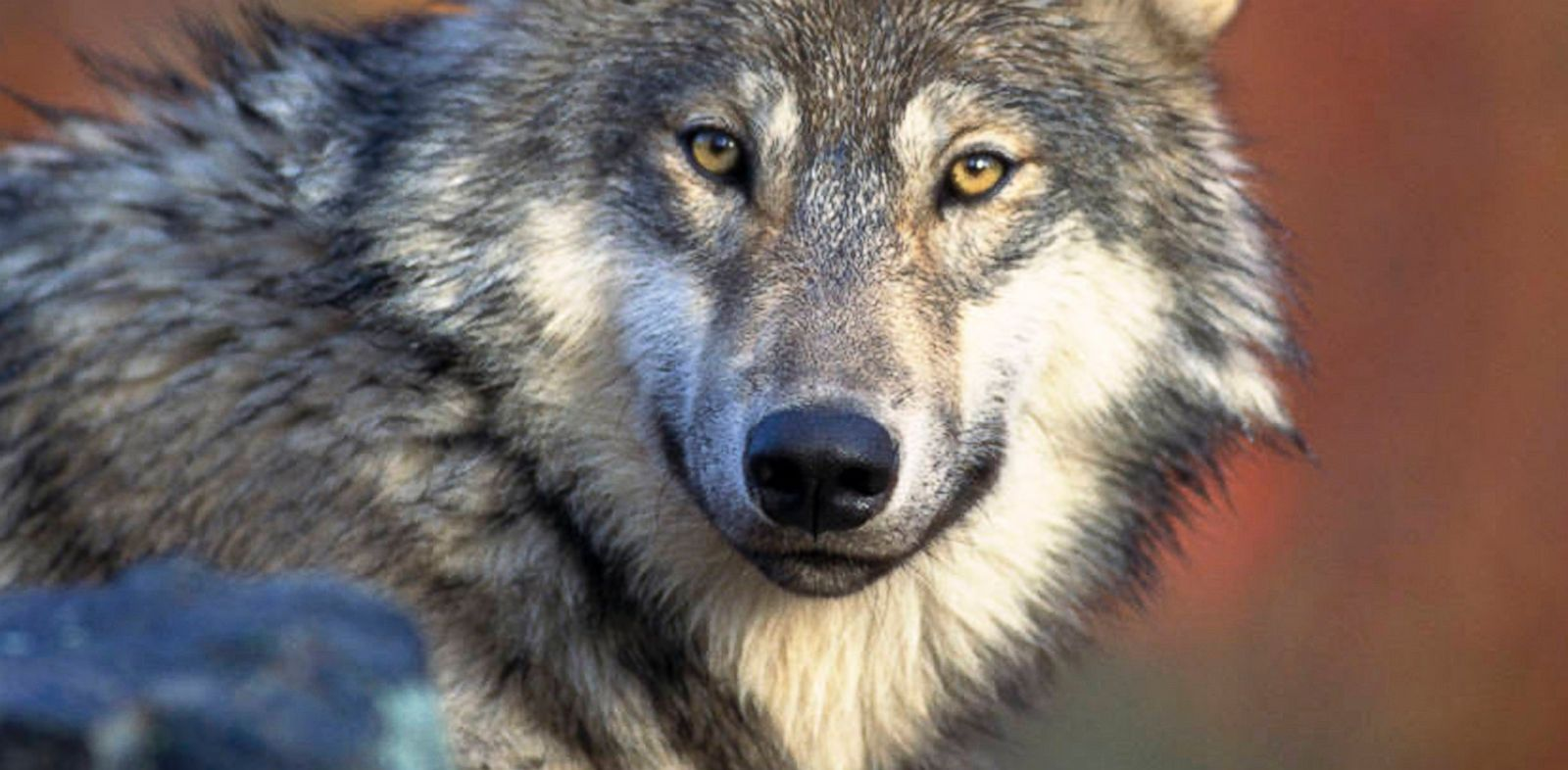 PHOTO: A gray wolf is shown it this photo provided by the U.S. Fish and Wildlife, April 18, 2008.