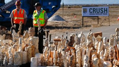 PHOTO: U.S. Fish and Wildlife Service officers watch over confiscated ivory prepared for crushing at the National Wildlife Property Repository, at Rocky Mountain Arsenal National Wildlife Refuge, in Commerce City, Colo., Thursday Nov. 14, 2013.