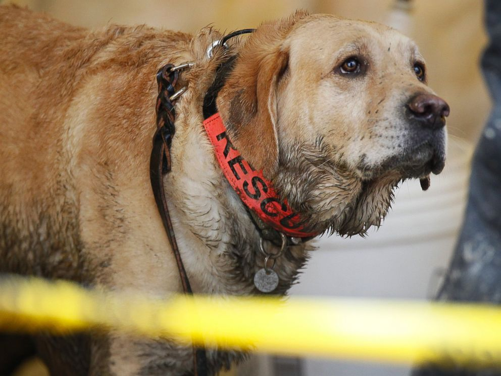 PHOTO: Rescue dog Nexus, muddy from working onsite, waits to be decontaminated via hose at the west side of the mudslide on Highway 530 near mile marker 37 in Arlington, Wash., March 30, 2014.