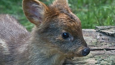 PHOTO: A newborn pudu, native to Chile and Argentina, a member of the worlds smallest deer species, that was born at the Queens Zoo June 2013 in New York.