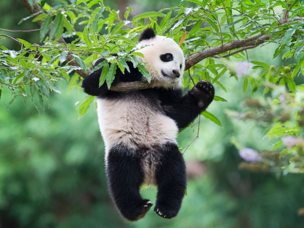 PHOTO: Panda cub Bao Bao hangs from a tree in her habitat at the National Zoo in Washington on her first birthday, Aug. 23, 2014.
