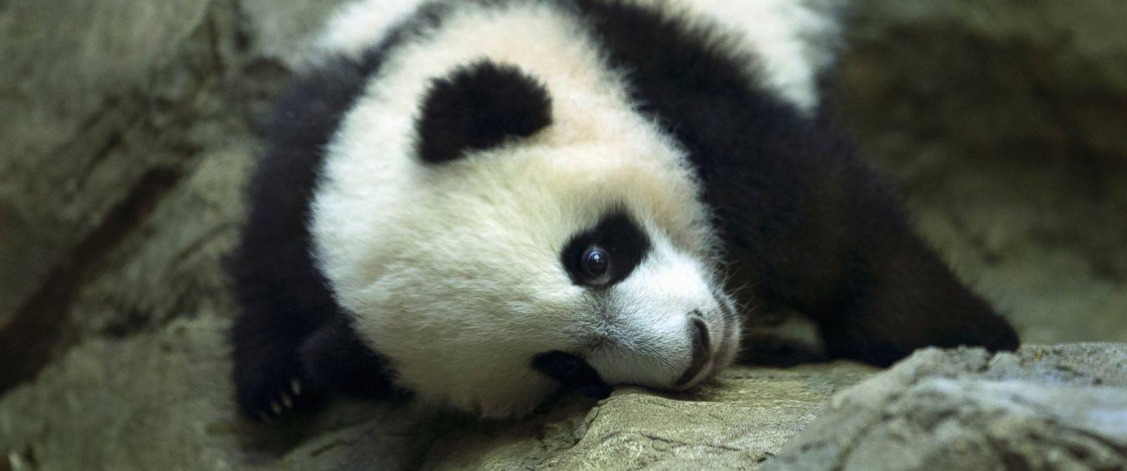 PHOTO: Giant panda cub Bei Bei, seen through glass, roams in his pen at the National Zoo in Washington, Jan. 16, 2016.