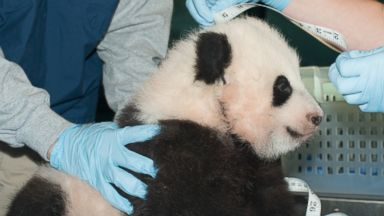 PHOTO: A giant panda cub is measured as it is about to turn 100 days old, at the Smithsonian National Zoo in Washington, Nov. 29, 2013.