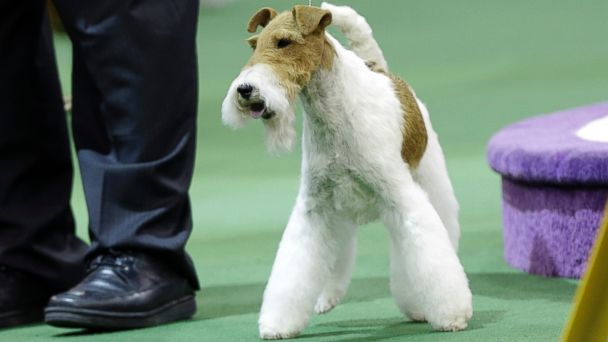 AP westminster best show wire fox jef 142011 16x9 608 Meet Americas Top Dog, Sky the Wire Fox Terrier