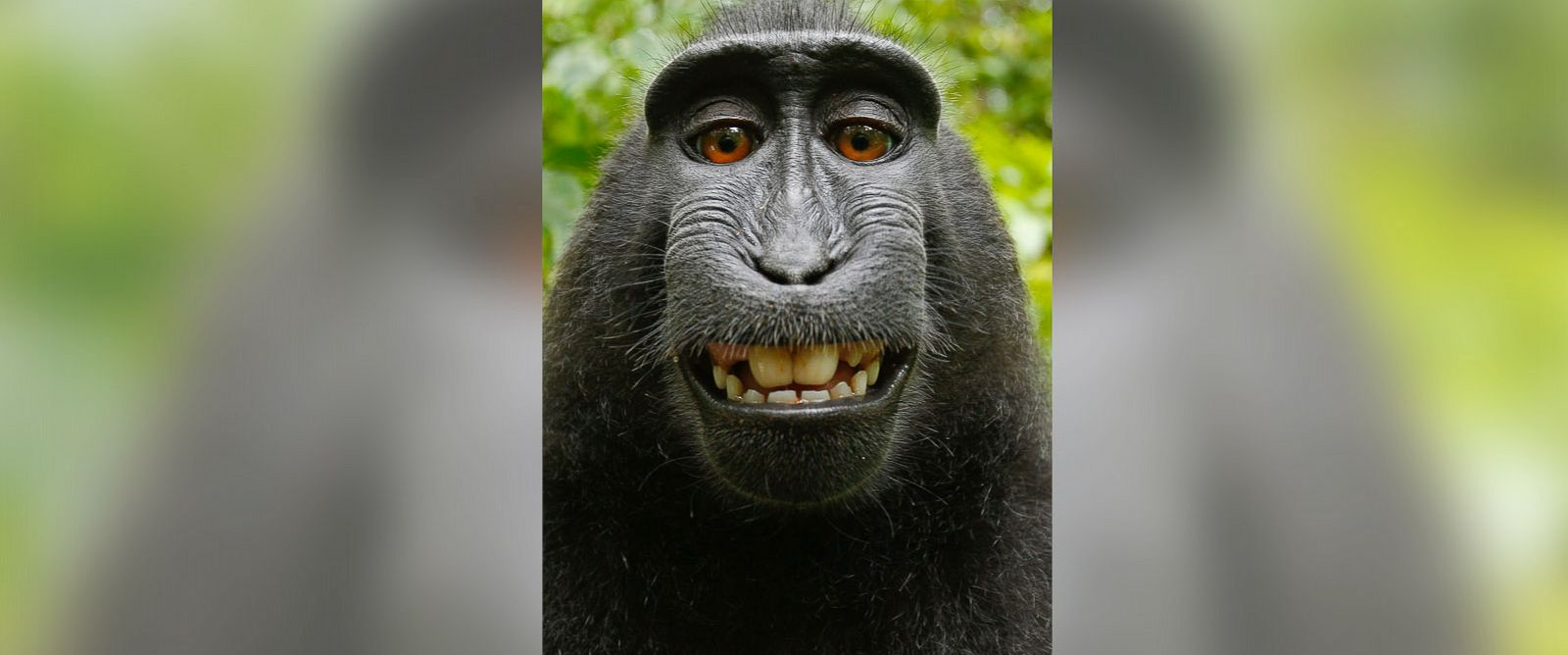 PHOTO: One of the photos that the crested black macaque took with British photographer David Slater's equipment is seen.