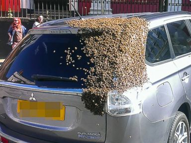 PHOTO: A lost swarm of bees sparked chaos when their queen got stuck in a car, resulting in 20,000 bees chasing the car for two days.