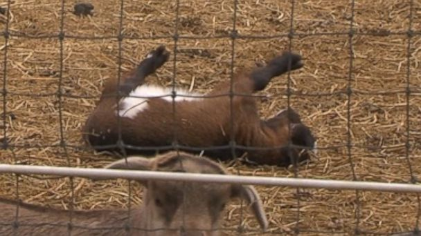 Fainting Goats 16x9 608 Fainting Goats Are Funny and Adorable