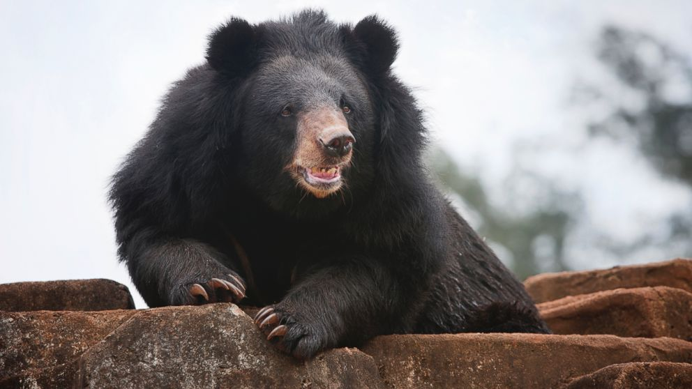 a discussion about a black bear attack Bear spray, especially at close range where most attacks occur, is more reliable than a speeding bullet and extremely effective in thwarting a grizzly charging at 35 miles (56 kilometers) an hour .