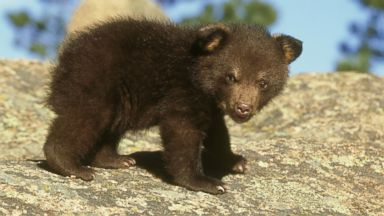 PHOTO: A bear cub, like this one, seen in undated file photo, was reprieved after a rabies scare on Washington University campus.
