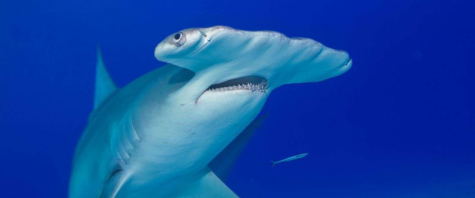 PHOTO: A great hammerhead shark is pictured in this stock image.