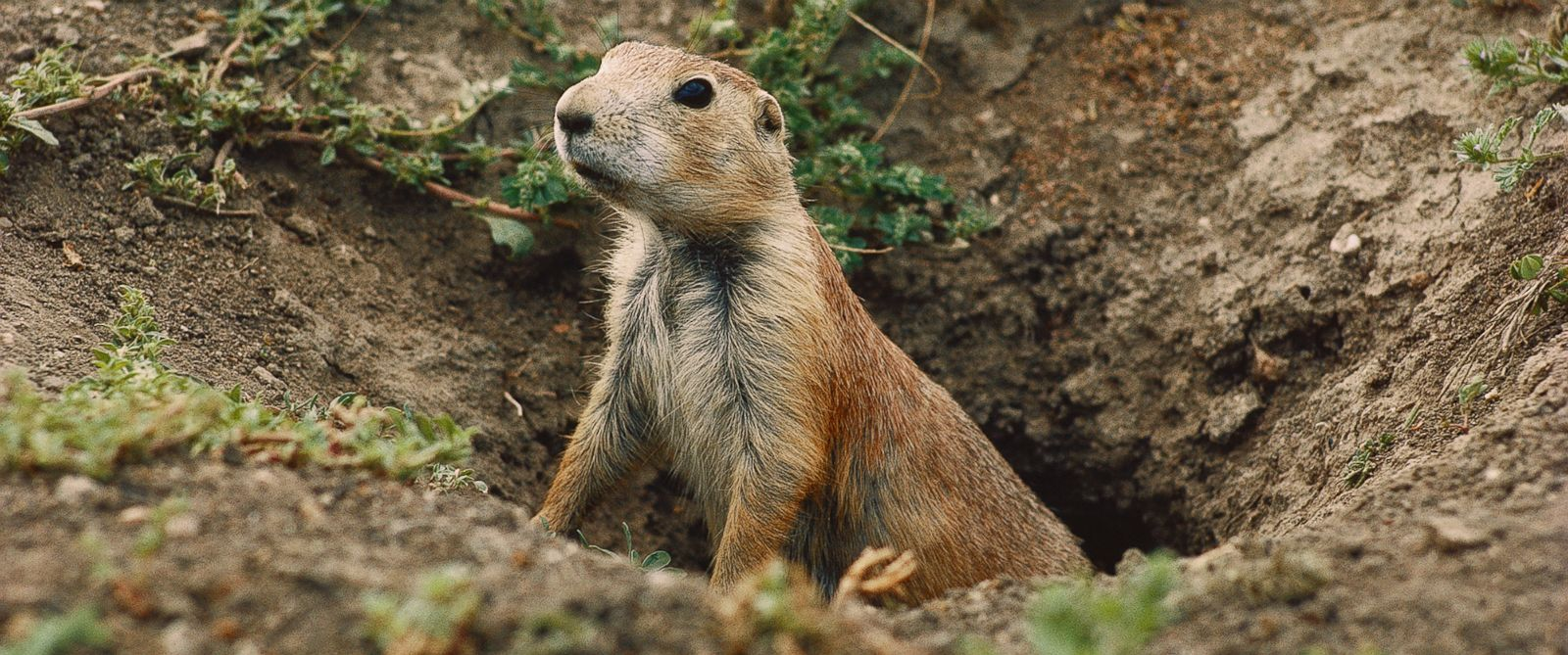 PHOTO: A prairie dog peers out from its burrow hole in this undated file photo.