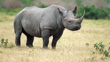 PHOTO: The Western Black Rhinoceros has been declared extinct.