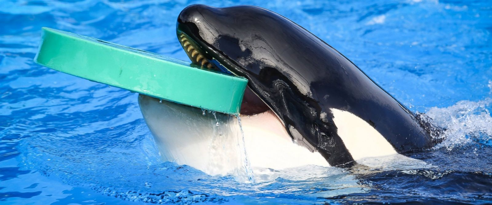 PHOTO: Trainers work with Orcas during a show at the Shamu Up Close attraction at Sea World in Orlando, Fla., Jan. 7, 2014.