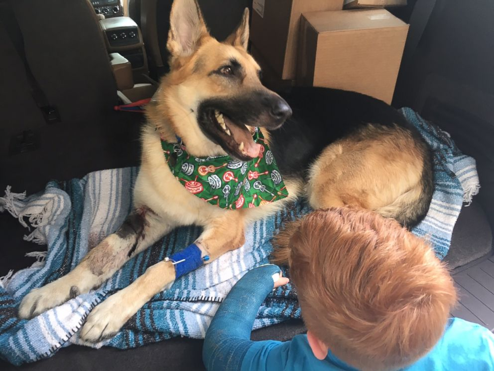 PHOTO:Haus, a 2-year-old rescue German Shepherd, received 9 vials of anti-venom after he was bitten three times by a rattlesnake in Tampa.